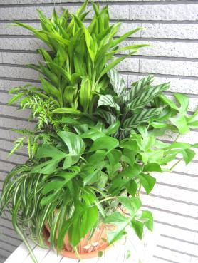 オリジナル寄せ植え ドラセナ、マコヤナ、ポリシャス、ヒメモンステラ、オリヅルラン、トラディスカンチャ