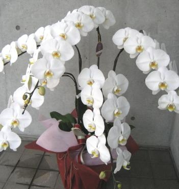 胡蝶蘭特大5F
