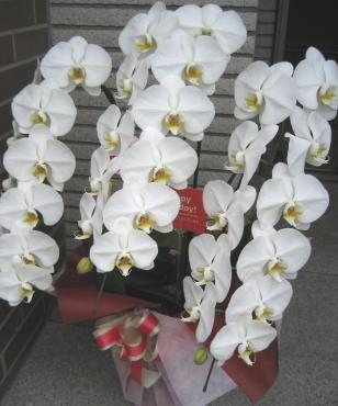 胡蝶蘭白3F