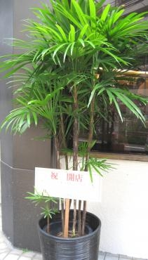 シュロ竹 7芽