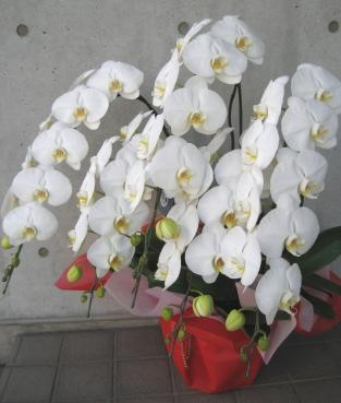 胡蝶蘭5F