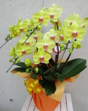 胡蝶蘭フーラーズサンセット5F